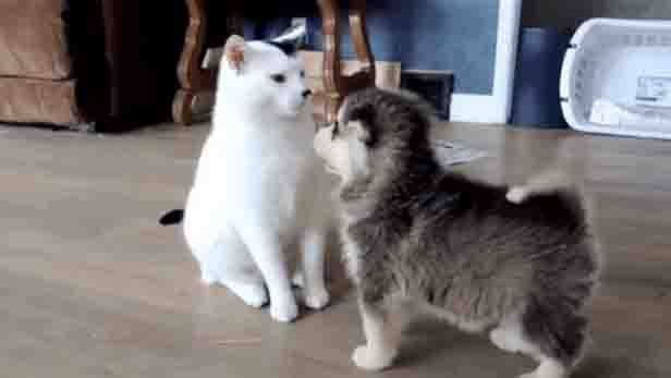 puppies meet cat for the first time