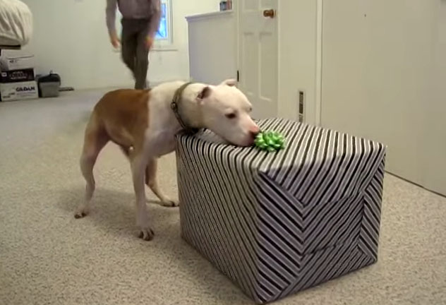 wallace the pit bull