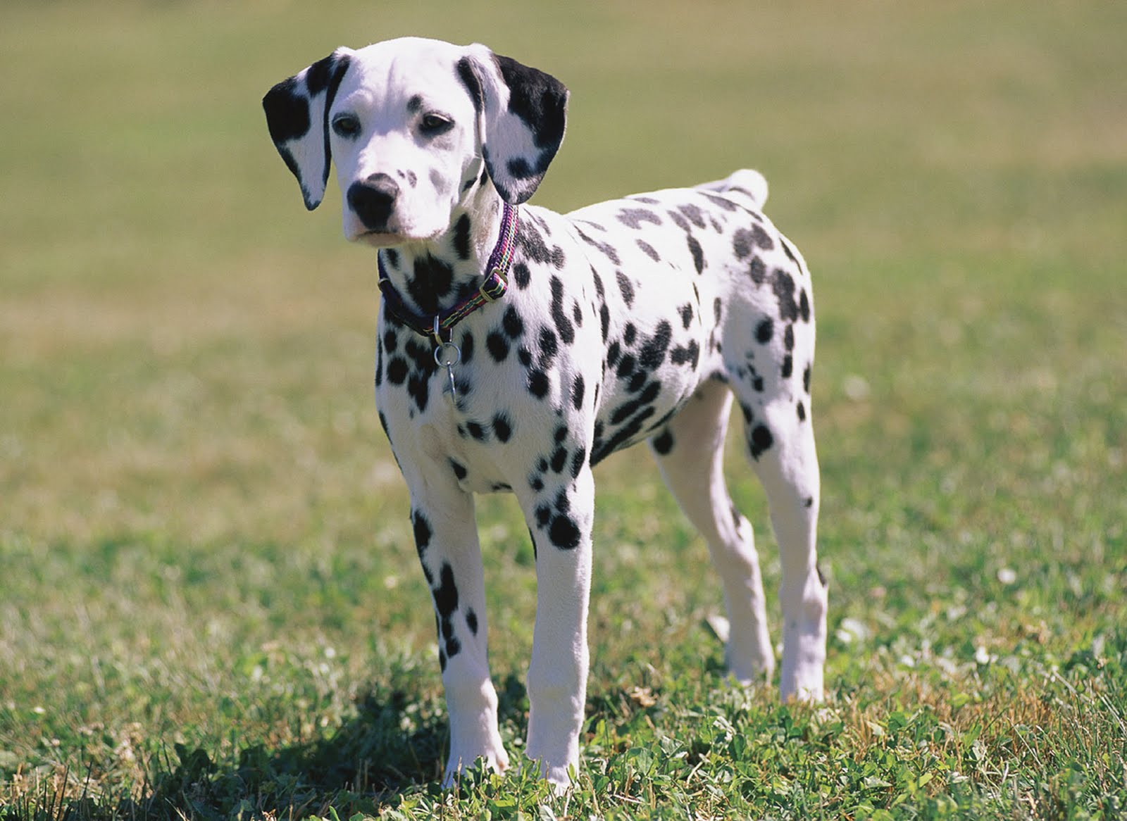 dalmatian-dog-skugs