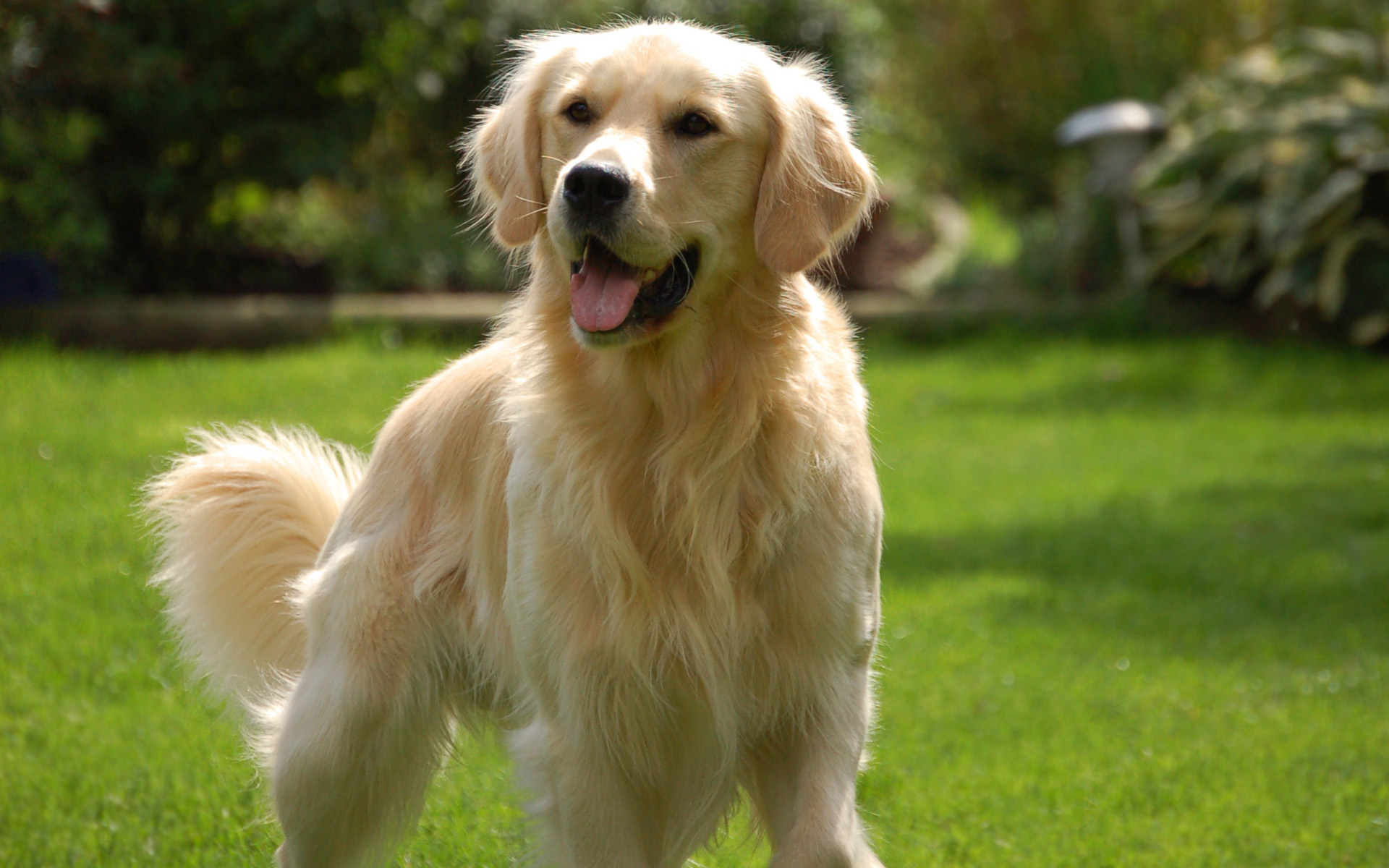 10 fun facts about golden retrievers 3milliondogs