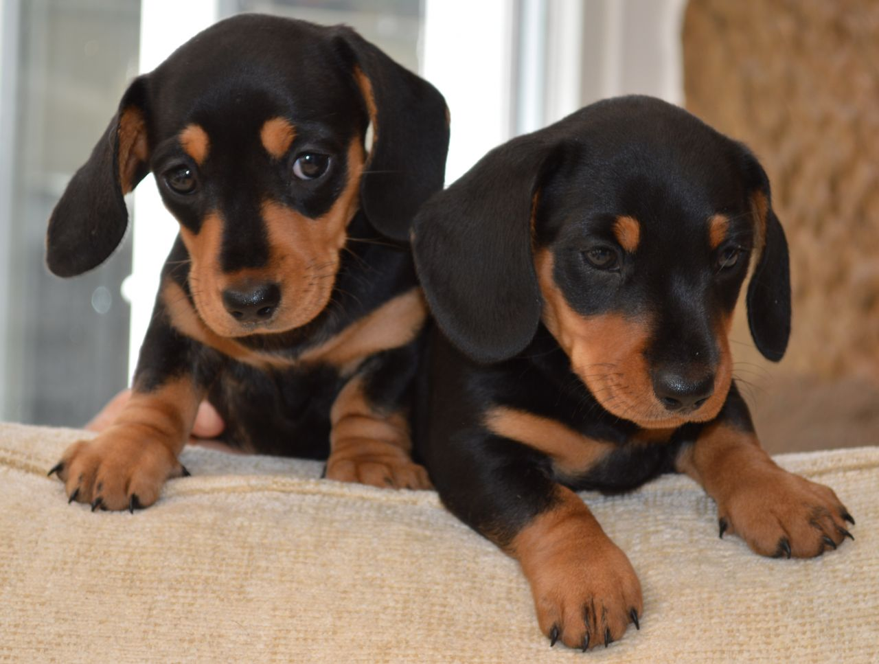 10 Interesting Facts About Dachshunds