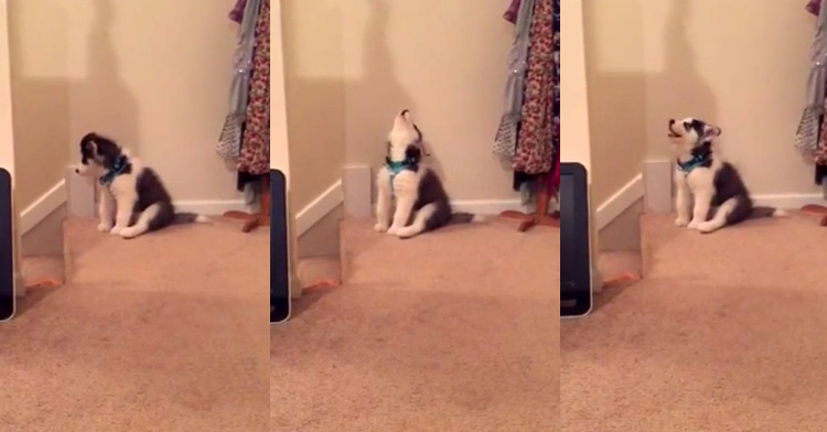 husky puppy howling