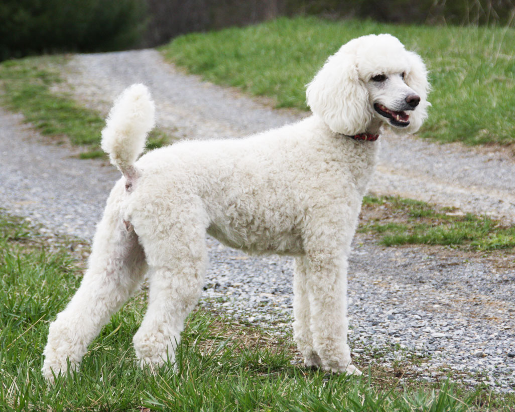 10 Facts That Make Poodles Interesting - 3MillionDogs