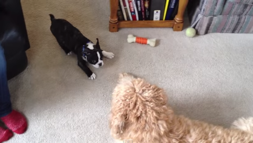 Frenchie Vs Goldendoodle
