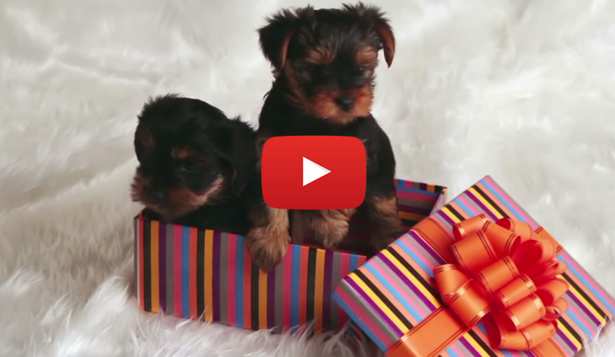 Christmas puppy video