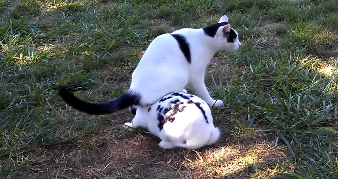 cat sits on rabbit