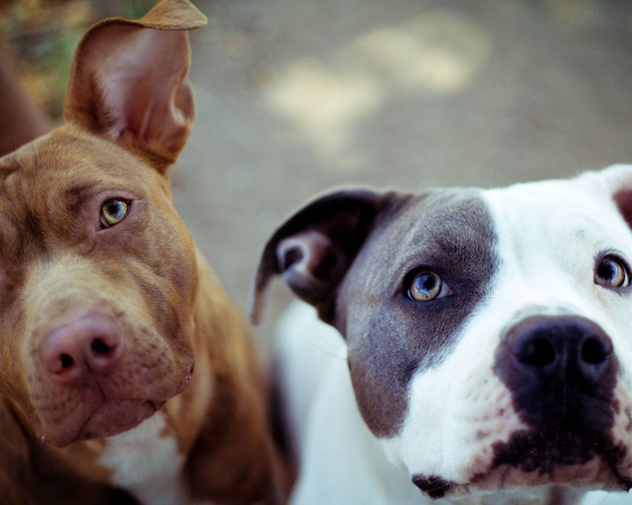 cute-pit-bulls-wallpaper