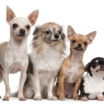 2. Chihuahuas have the widest variety of coats and colors including sable, white, merle, tri-color and more.