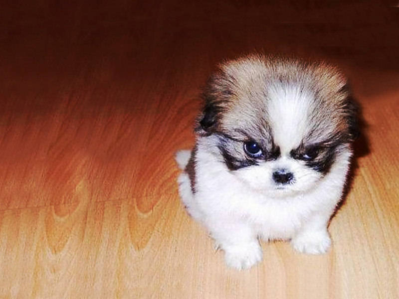 Angry-Small-Dog-Funny-Wallpaper