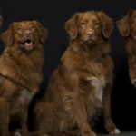 Duck-Tollers-Herah-mothermiddle__880