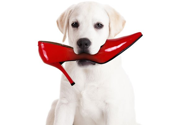 dog_chewing_shoe