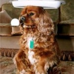 1. The Cavalier is a small dog that stands about 12 inches at the shoulder and weighs 13 to 18 lbs.
