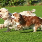 3. The Cavalier was bred when it was crossed with the King Charles and the Cocker Spaniel.