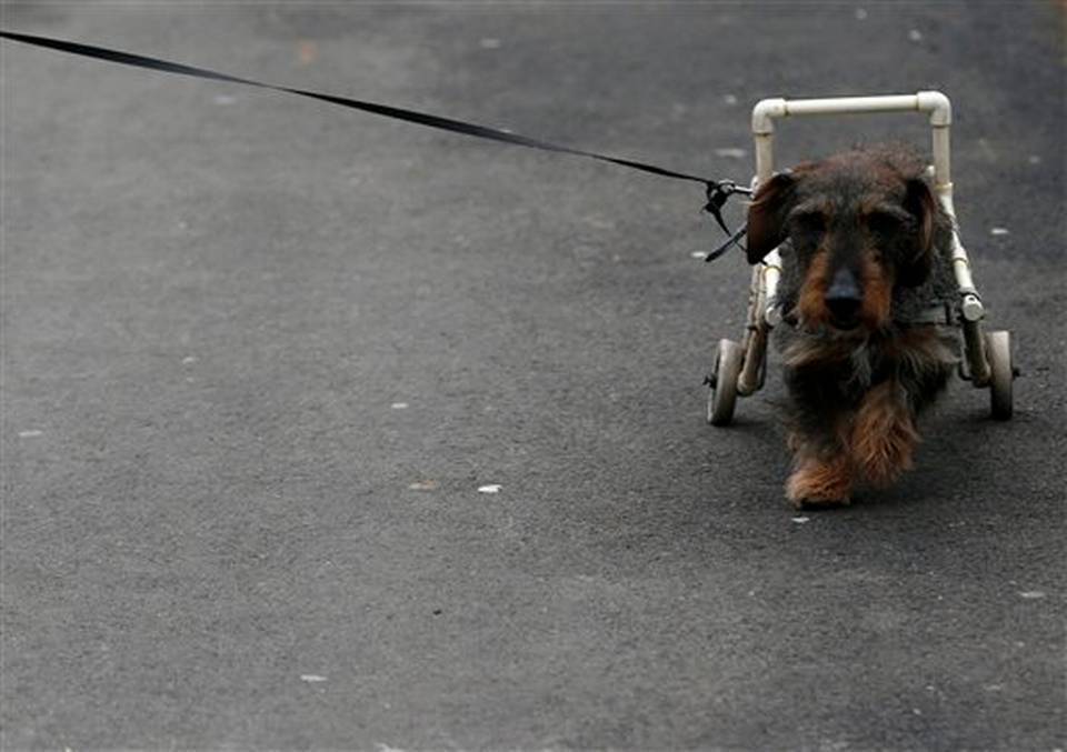 Serbia Pet Wheelchair