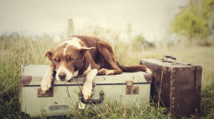 dog-lying-on-luggage-and-waiting-for-someone-hd