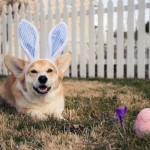 3. This Corgi that is quite happy with his one egg and tiny Crocus flower, because when are Corgis not happy?