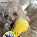 6. This fluffy pup that has discovered the joy of Peeps…mmmm, Peeps