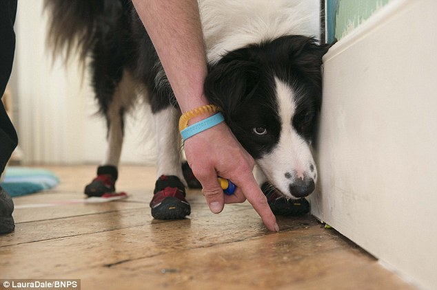 2740240C00000578-0-On_the_case_Four_year_old_Border_collie_Meg_gets_down_to_work_sn-m-45_1428108321498