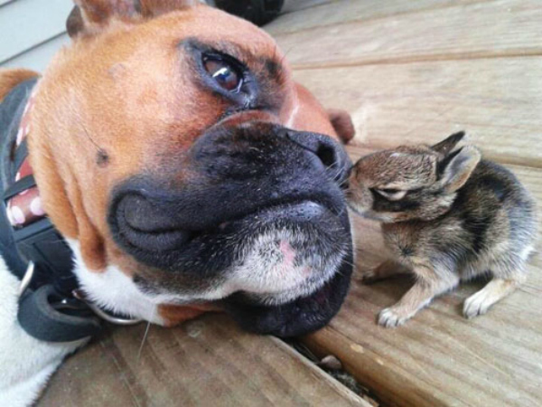 The bunny who will cheer up this Boxer