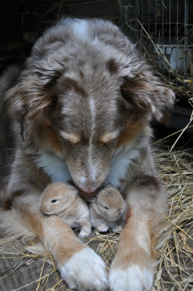 The dog who adopted baby bunnies