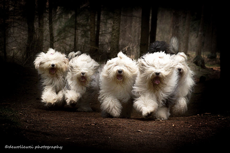 old-english-sheepdog-dog-sisters-sophie-sarah-cees-bol-6
