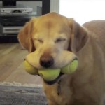 Tennis Balls: Don't bother getting the tennis balls with squeakers in them because your dog is bound to tear it out. Even if your dog chews all of the felt off, the ball still makes a great toy for playing fetch. One of the best things about tennis balls is that you can buy a bag at a relatively cheap price on Amazon.