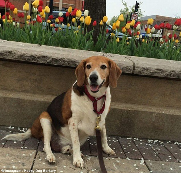 Kale Chips the beagle