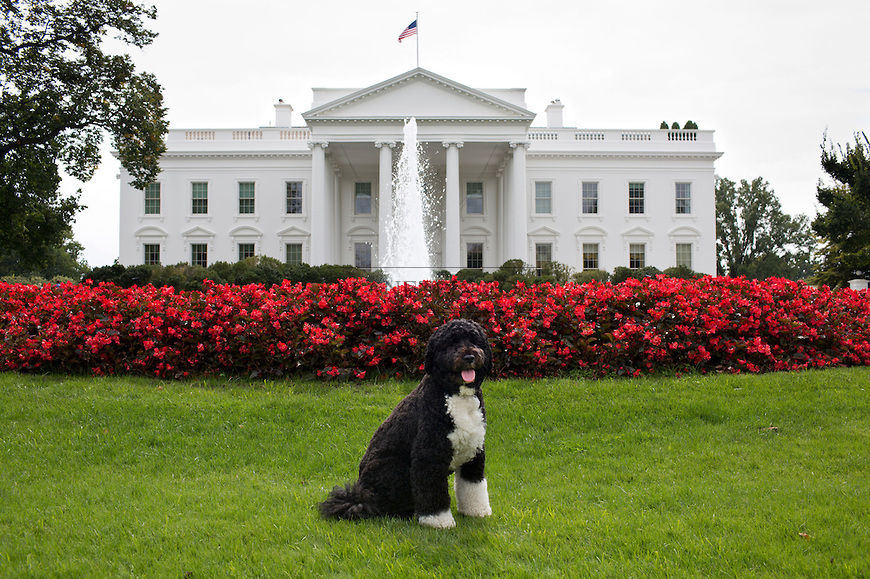 Bo, the Obama family dog in front of the White House