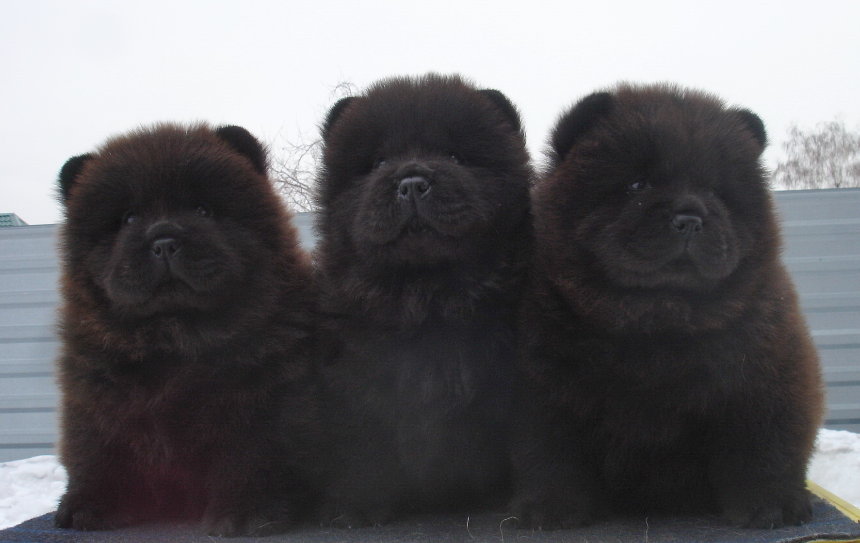 10 Things You Need To Know About Chow Chows 3milliondogs