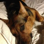 2. I Can't Get Comfortable: If your dog is a cuddler, but it seems that they go to extraordinary lengths to get comfortable, they'd probably tell you regardless of the blankets and pillows, that they just are not comfortable enough.