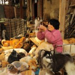 Yang Xiaoyun and some of her dogs