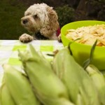 Scruffy who is casually eyeing the corn that hasn't even been husked yet!