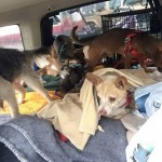 The dogs on their way to Indiana.