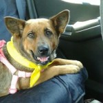 Dolly the corgi-mix pulled from death row when KHTC gave her a second chance.