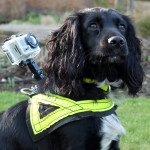 Crime fighting Phoebe the Springer Spaniel.