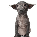 Bali Pip, who suffers from mange.