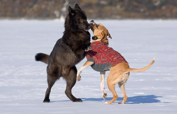 wolf and dog relationship
