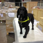 Phoebe has helped to seize over one million pounds of illegal product.