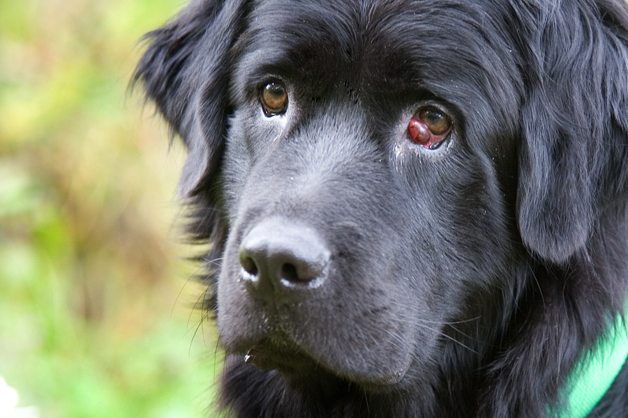 Eyelid Protrusion Cherry Eye In Dogs