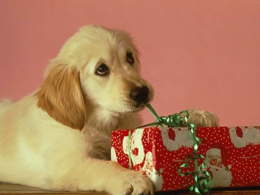 Don't give a dog as a present for Christmas Archives - 3MillionDogs