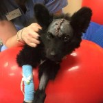 Scrunchie was fortunate enough to be rescued and have enough people contribute for his surgery.