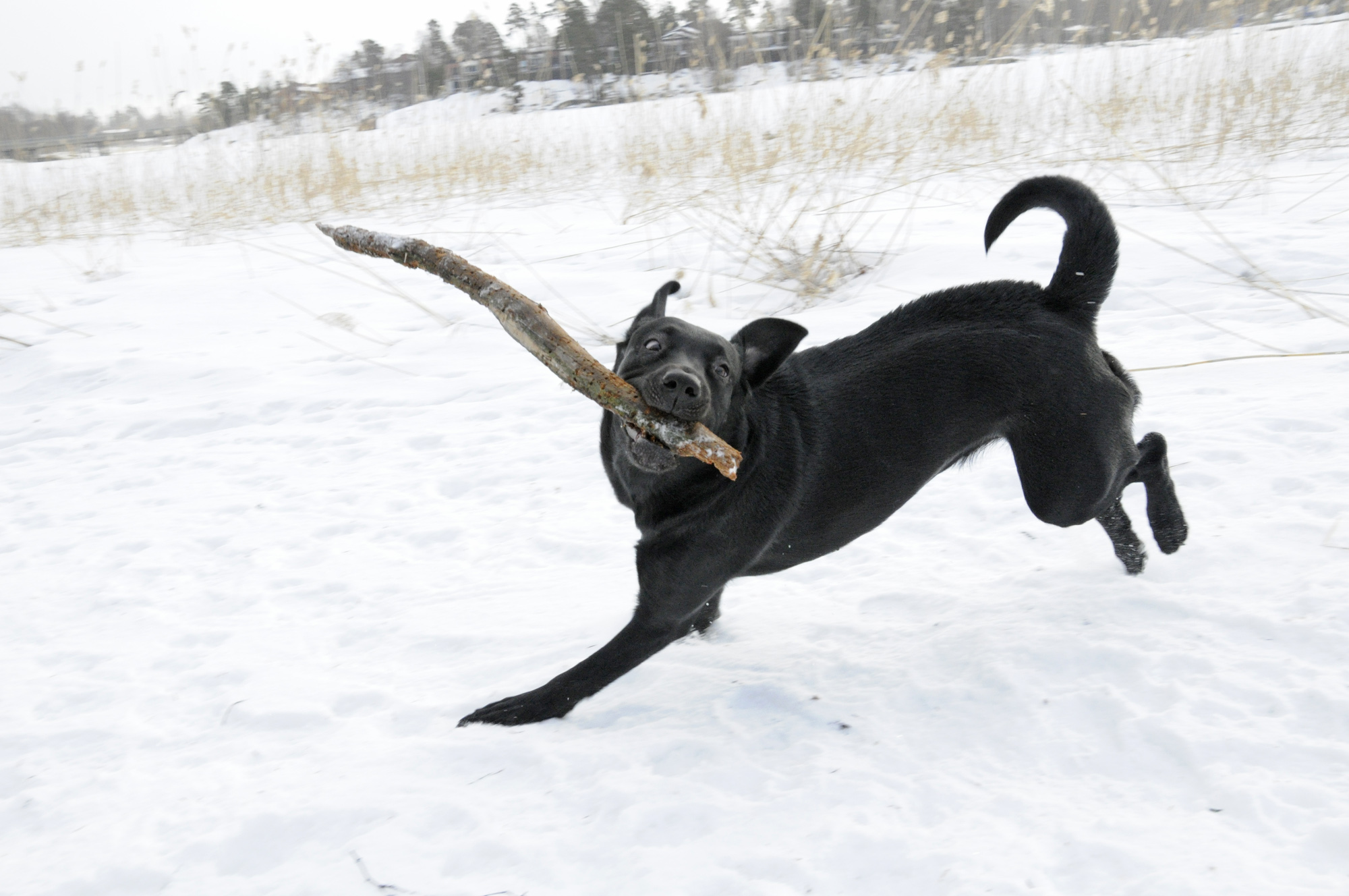 Labrador_retriever_playing_with_a_stick_in_snow
