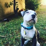 The Pit Bull pup was born with a condition that resulted in him being blind.