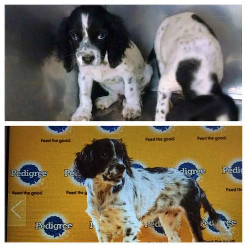 The now-famous Gordon featured in the Puppy Bowl!