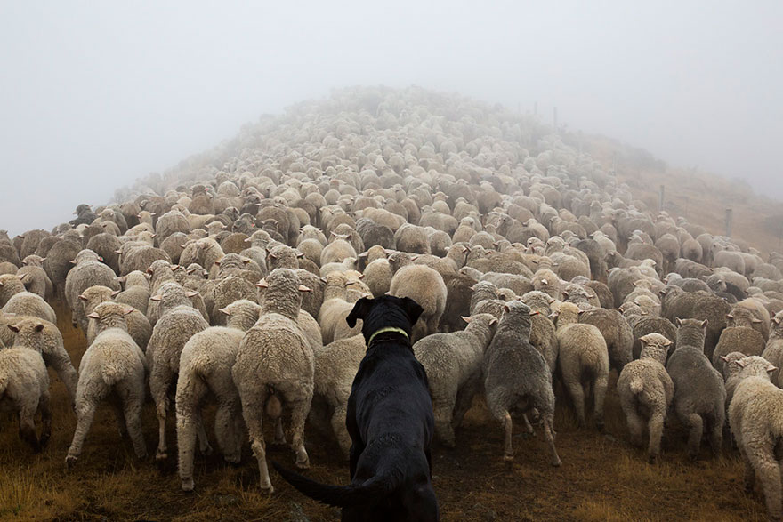 "Shepherds - Its always interesting getting a dog to pose for you,"" Andrew Fladeboe told Bored Panda. ""Its not a natural act for the dog and not something that the owners train their dogs to do"
