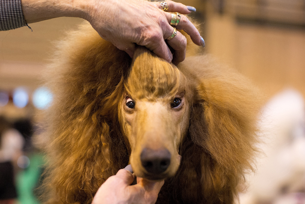 A Poodle gets its hair groomed before competing during the first day of the world's largest dog show, Crufts, on Thursday March 10, 2016 at the National Exhibition Centre (NEC) in Birmingham..