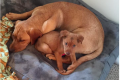 Josie rescue pup acts as foster sister
