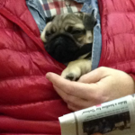 pug reading in jacket