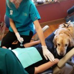 Dental assistant dog