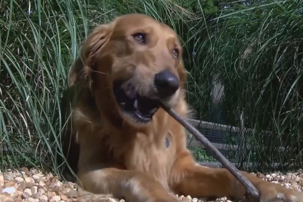 Golden Retriever chewing on a stick
